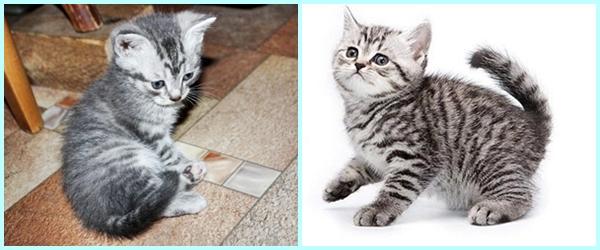 фото котята шотландской породы