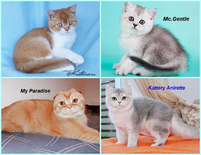 окрасы шотландских кошек с фото