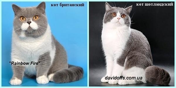 Чем отличаются британскими и шотландскими вислоухими котами